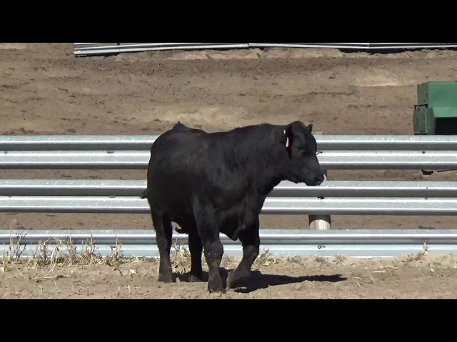 Connealy Angus Lot 183