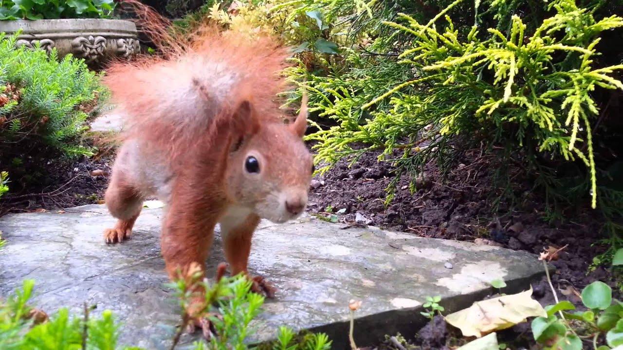 Zahmes Eichhörnchen