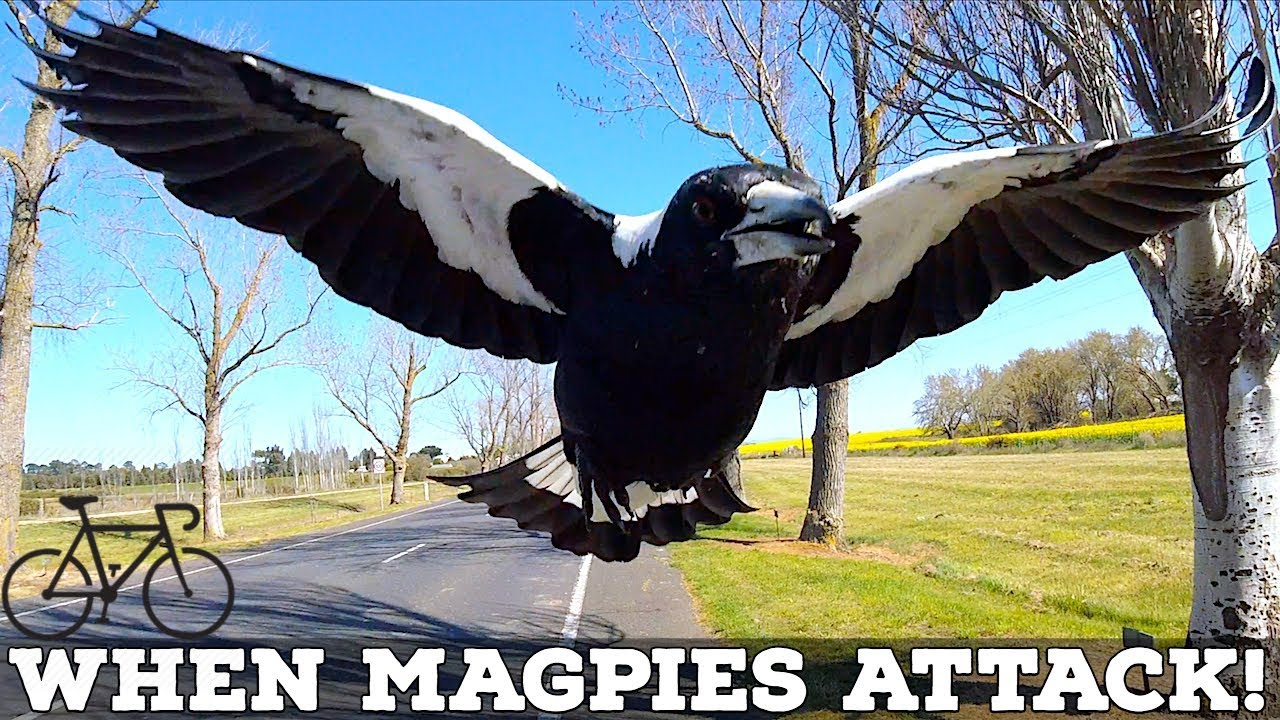 Angry birds 'confused' by Adelaide's warm weather swooping ...  |Australia Swooping Birds Sign