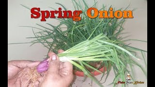 How to make Grow Spring Onion | Ulli Thandu | ഉള്ളി തണ്ട് at Home- NRK