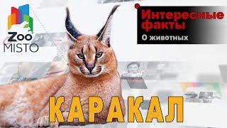 Каракал - Интересные факты о млекопитающем | Вид млекопитающего каракал