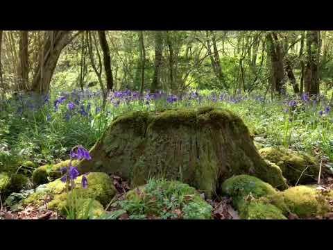 Pallinghurst woodlands in deep Spring