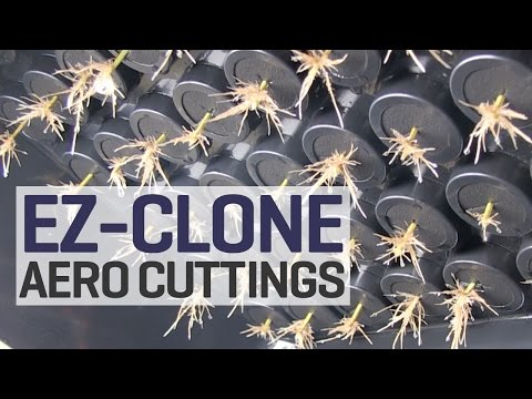 How To Take Clones in Aeroponics. We Turn One Plant into Sixty More Aeroponic Cuttings with EZ-Clone
