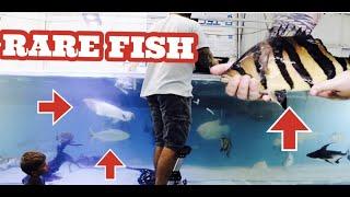 rare-fish-in-the-show-tank-nile-perch-golden-dorado-golden-gar-platinum-fly-river