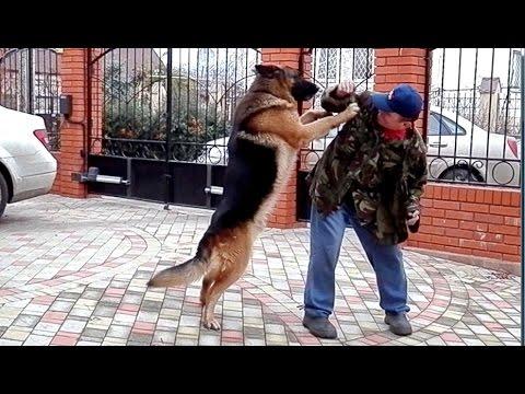 ТЯЖЕЛОВЕС РОККИ. Dog heavyweight. Кобель НЕМЕЦКОЙ ОВЧАРКИ 5 лет. Одесса.