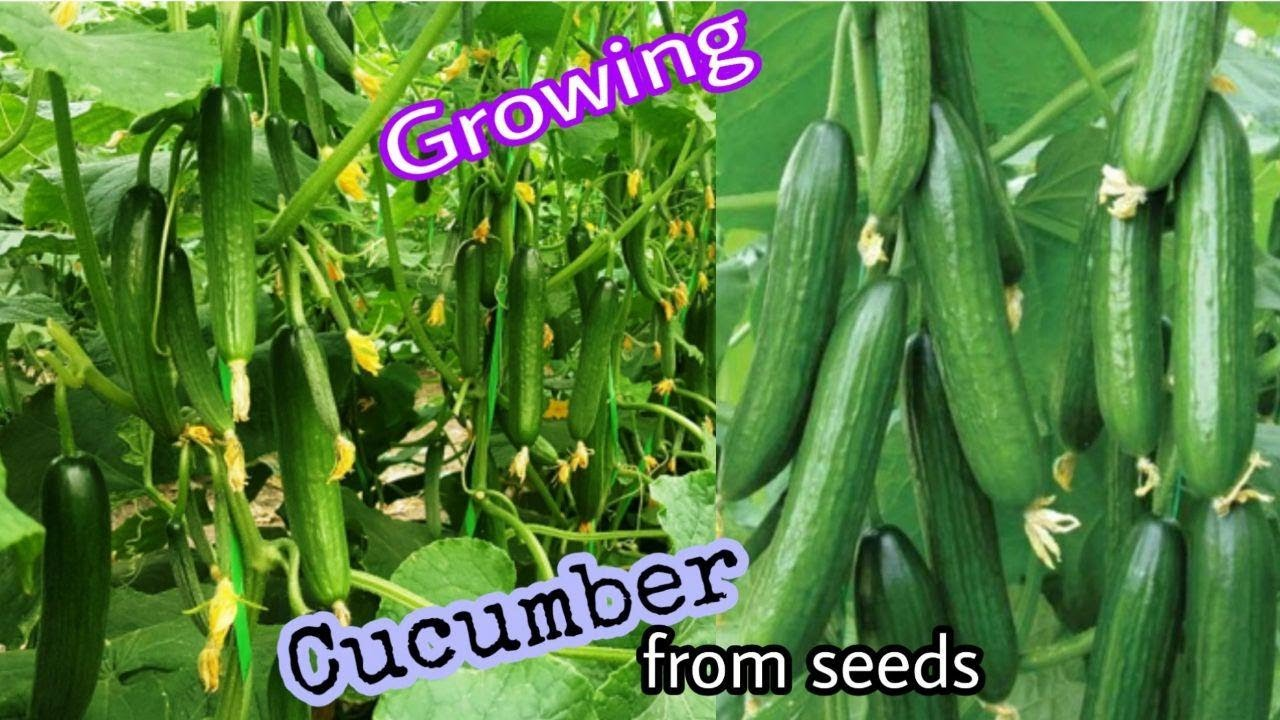 Recycling bag to grow Cucumbers, How to grow Cucumbers from seeds to harvest / Easy for Beginners