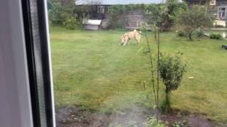 Бешеная собака с тапком