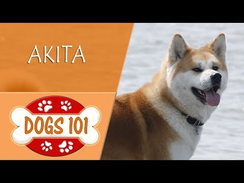 Dogs 101 -  AKITA - Top Dog Facts About the  AKITA