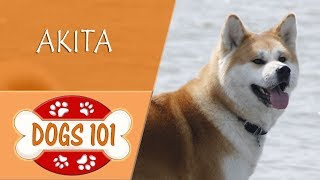 Dogs 101   AKITA  Top Dog Facts About the  AKITA