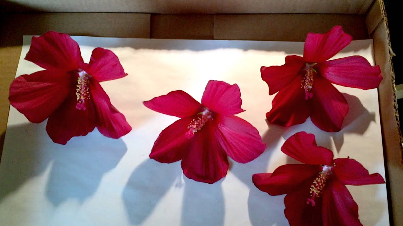 Drying hibiscus petals for tea youtube izmirmasajfo Images
