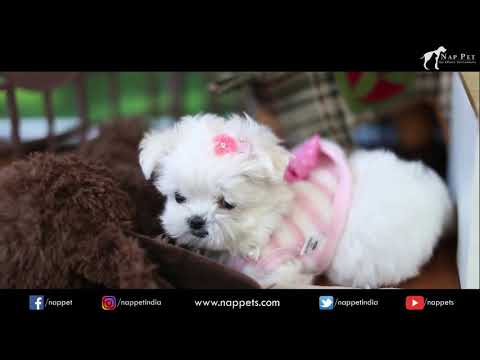 maltese | Cutest Dog Breed | Nappets