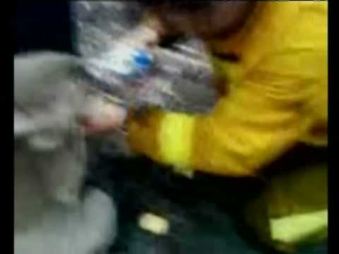 Thirsty Koala Recovering Well