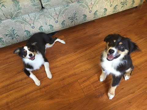 Puppy Playtime with Miniature Australian Shepherds:  Socialization w/ Such Good Dogs.