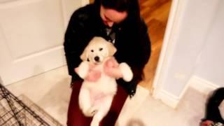 Chelsea The Golden Retriever Puppy ... Dancing!