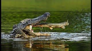 Cá sấu - Kẻ săn mồi tối thượng (HD thuyết minh - NatGeo Tiếng Việt)