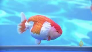 هذا الصباح- مسابقة في الصين لأجمل سمكة ذهبية