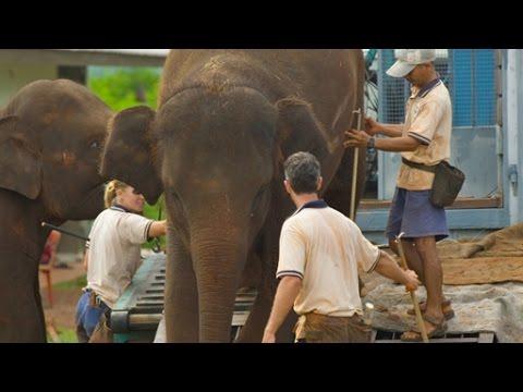 Flight of the Elephants - National Geographic (Documentary)