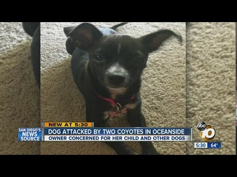 Dog missing after being attacked by coyotes in Oceanside