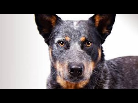 Australian Cattle Dog - Dog Breed