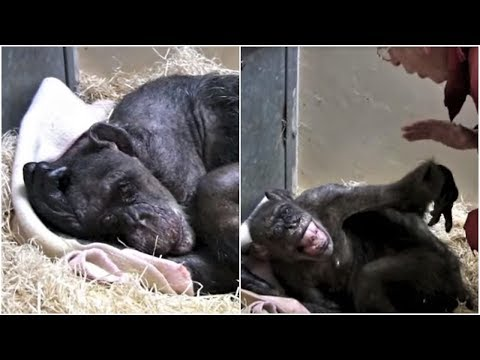 This Elderly Chimpanzee Was Sick And Dying When Suddenly She Recognized An Old Friends Face