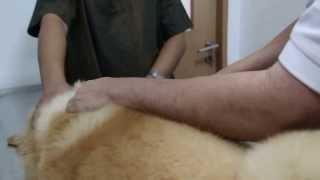 The 8-month-old Golden Retriever Has Left Shoulder Pain Again