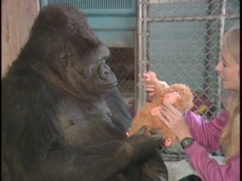 Koko's Quest for a Baby