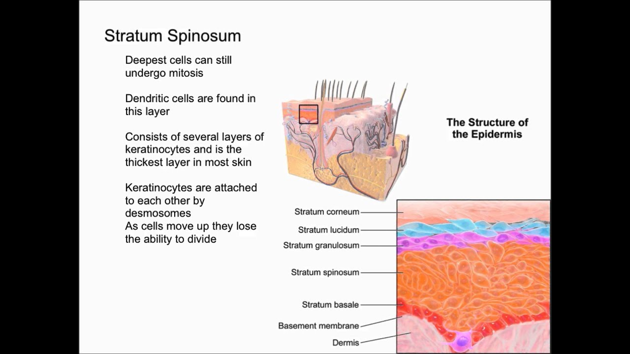 Layers Of The Epidermis Youtube