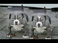 DOG BREED TOP 15 BEST GUARD DOGS [Mr Fahey]