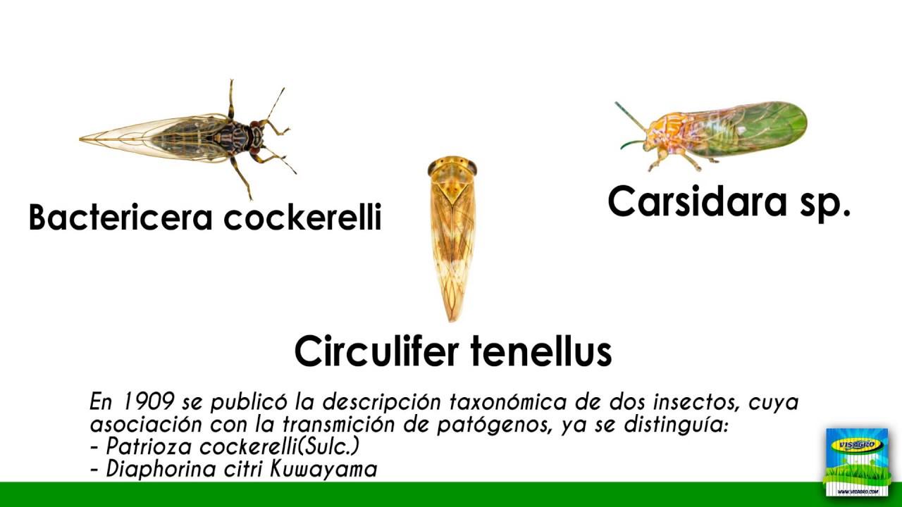 parazitaellenes tisztító ruslana piskoppel)