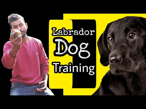 Labrador training || Dog training in hindi || Dog training in India