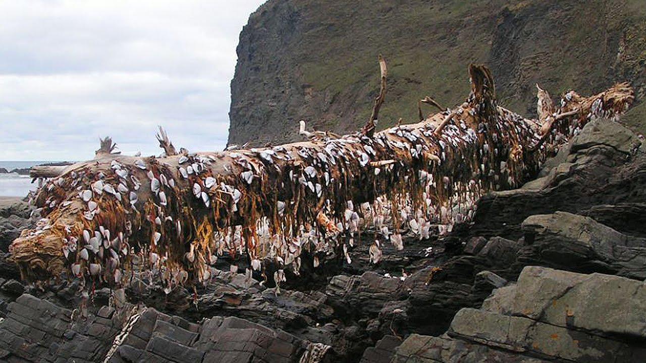 Strange sea creatures in northwest waters 'concerning' scientists