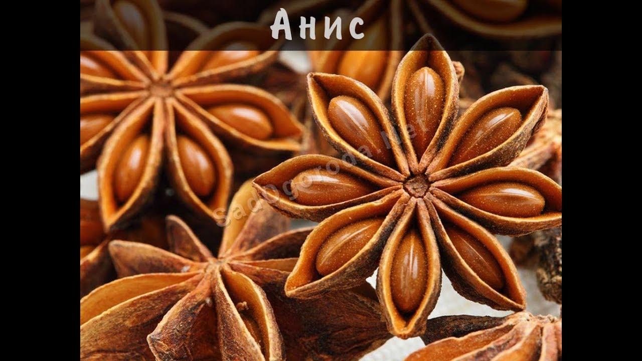 Анис лечебные свойства. Вкус и запах аниса. Анис применение, купить