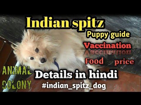 INDIAN SPITZ DOG GUIDE II FOOD II PUPPY BUYING II VACCINATION II PRICE II MANY MORE II ANIMAL COLONY