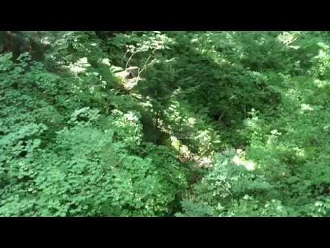 Vine maple trees (Acer circinatum) in temperate rainforest.
