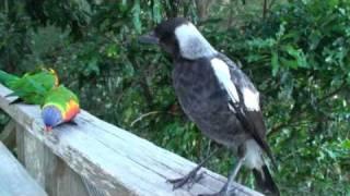 Baby Magpie sings to lorikeets