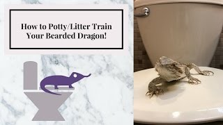 How to Potty/Litter Train Your Bearded Dragon | Fastest and Easiest Way (for me)