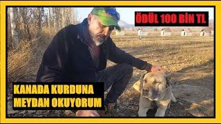 KANADA KURDUNA MEYDAN OKUYORUM / BAHSİ 2 KATINA ÇIKARIYORUM #kangal #malaklı #kanadakurdu