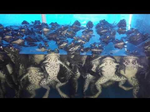 China: Bull Frogs- Killed, Skinned, Dropped in Hotpot-- Hohhot, Inner Mongilia
