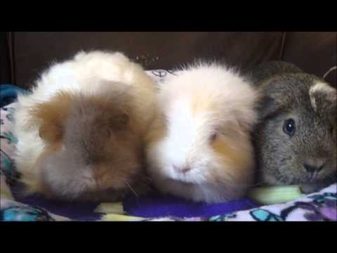 Guinea Pig Lice: What You Need To Know!