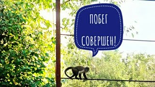 2018.08.21 Обезьяна капуцин Масяня. Масяня сбежала!!!