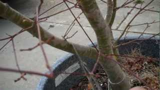 How to Grow Japanese Maple (Acer Palmatum) in a pot. Part III One Year later.mp4