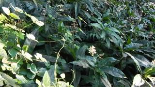 ヤブミョウガ 野草