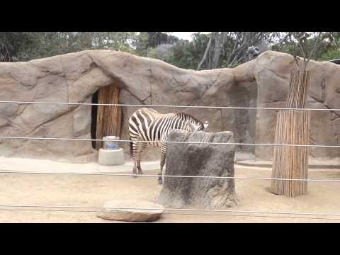 Zebra at the SAN DIEGO ZOO thumbnail