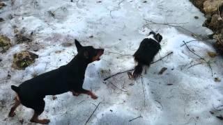 Злые и мелкие собаки