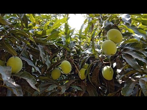 Grow mango tree in pot | Plant dwarf mango tree in pot or container