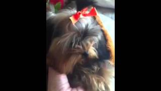 Tiniest Tiny Teacup Full Grown Yorkshire Terrier Girl For Sale In Arizona