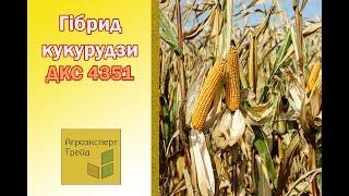 Кукуруза ДКС 4351  🌽 - описание гибрида 🌽, семена в Украине