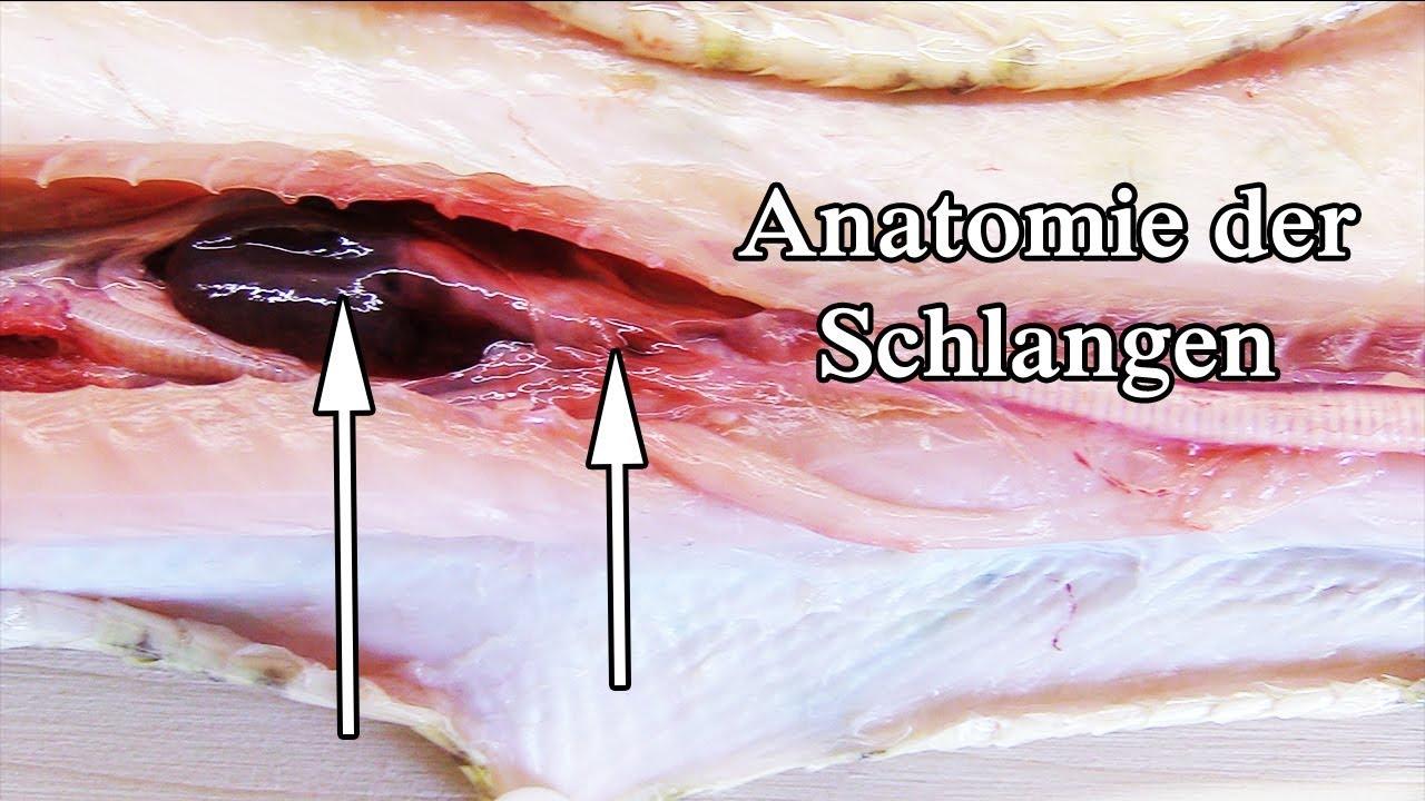 Schlange Anatomie (Sektion) - YouTube