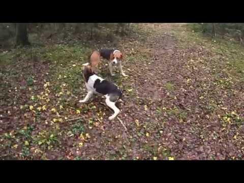 Охота на зайца 9 12 2017 с пегими гончими