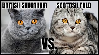 British Shorthair Cat VS. Scottish Fold Cat
